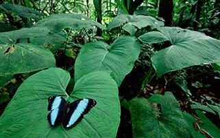 پروانه مورفو،آمازون