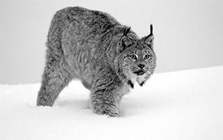 گربه وحشی،کانادا