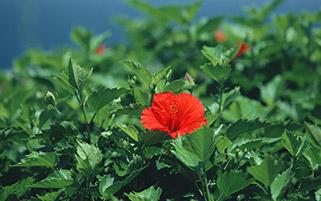 گل منطقه استوایی