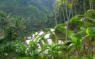 کشت برنج،اندونزی