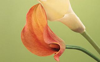 گل لیلی کالا
