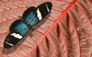 پروانه آبی کوچک