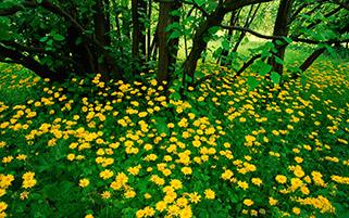گل های زرد،اسکاتلند