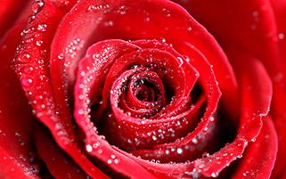 گل رز و قطره ها