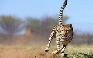 چیتا،نامیبیا،آفریقا