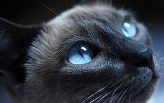 گربه چشم آبی