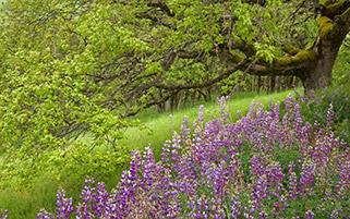 گل های سنبل، بهار، کالیفرنیا