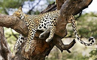 یوزپلنگ خوابالو