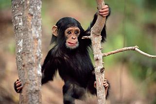 شامپانزه جوان ،تانزانیا