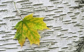 یک برگ درخت چنار