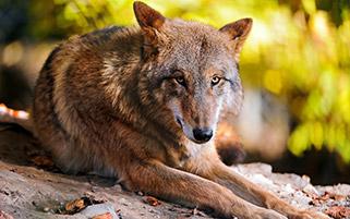 گرگ در حال استراحت