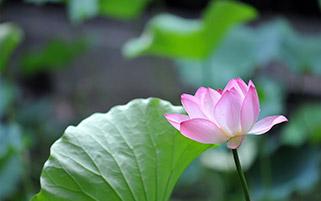 گل نلیوفر آبی