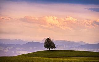 تک درخت در غروب