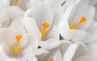 گل زعفران سفید