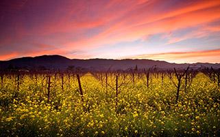 دشت گل های خردل،کالیفرنیا