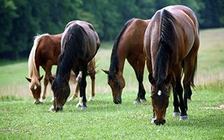 اسب های مزرعه