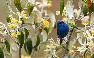 پرنده تاناجر،رشته کوه های آند، پرو