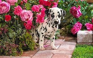 سگ خالدار در حیاط