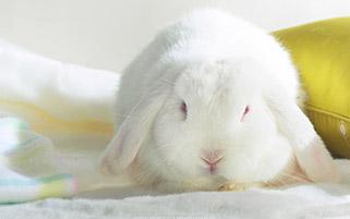 خرگوش سفید