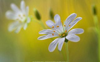 رویایی از گل