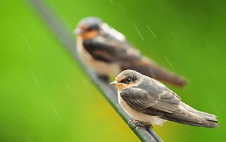 کنجشک ها در نم نم باران