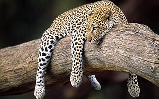 استراحت یک پلنگ