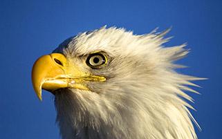 پرتره عقاب