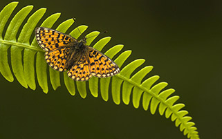 پروانه کوچک
