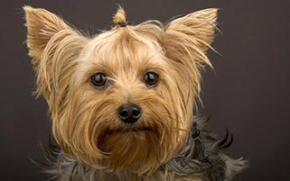 سگ،گونه یورکشر تریر