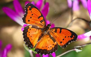 پروانه کوچک نارنجی
