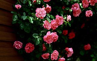 گل های رز صورتی