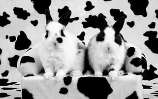 خرگوش های خال خالی