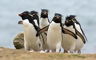 پنگوئن ها،جزایر فاکلند