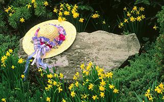 کلاه دوشیزه بین گل های نرگس