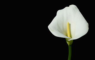 گل لیلی سفید