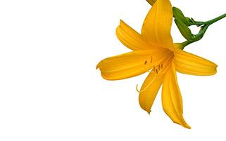 گل لیلی زرد