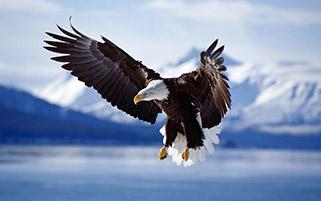 حمله عقاب برای شکار