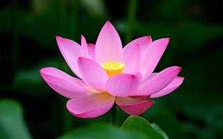 گل نیلوفر آبی
