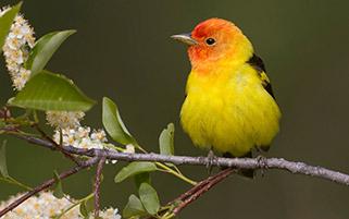 پرنده آواز خوان،منتانا