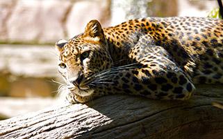 استراحت یوزپلنگ