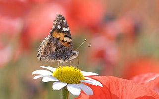 خانم پروانه روی گل