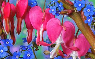 گلهایی به شکل قلب