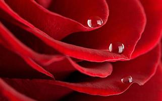 گل رز و قطره ها ۲