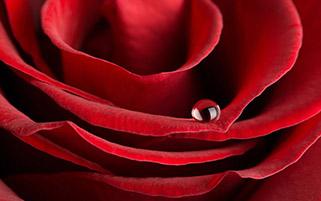 گل رز و قطره ها ۳
