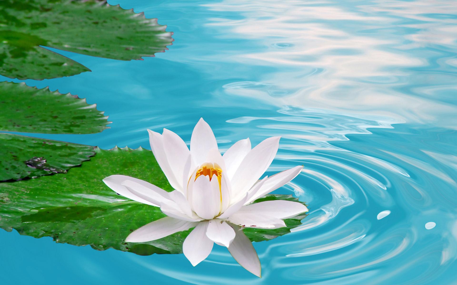 عکس هایی از گل زیبای نیلوفر گل نیلوفر